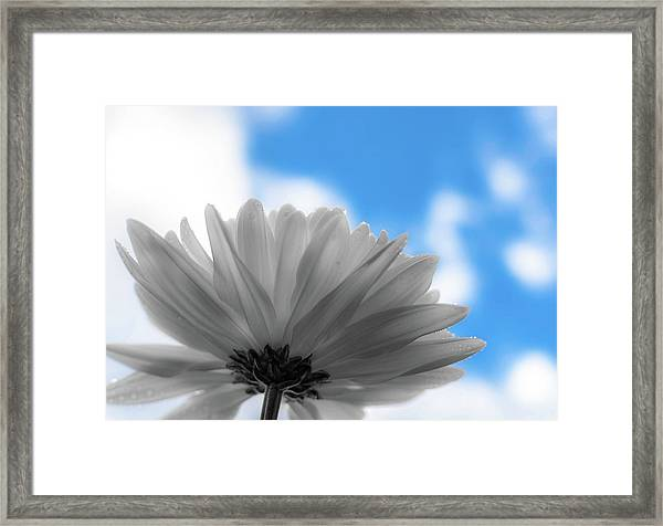 Daisy Blue Framed Print