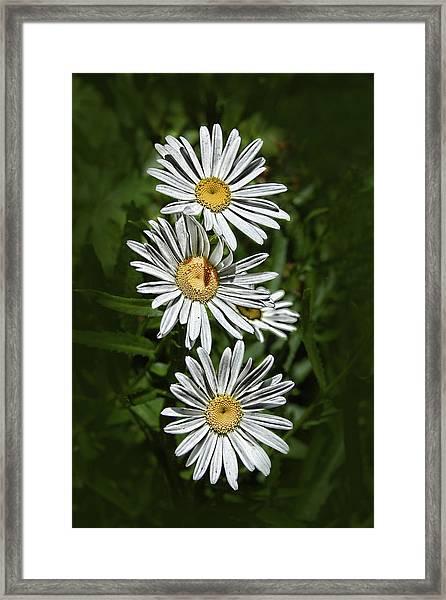 Daisy Chain Framed Print