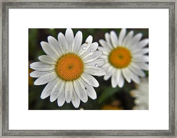 Daisy Dew Framed Print