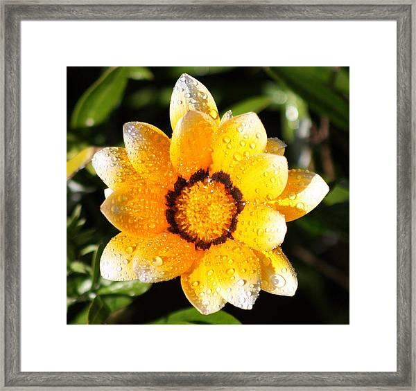 Daisy Dew Framed Print by JoAnn Tavani