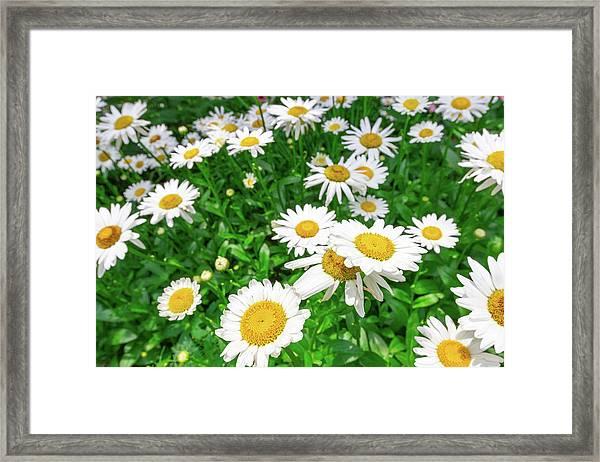 Daisy Garden Framed Print
