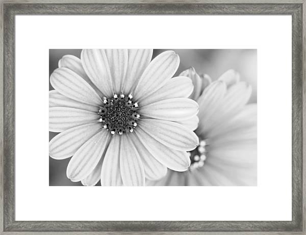 Daisy Study Framed Print