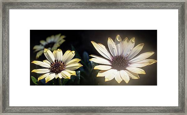 Daisydrops Framed Print
