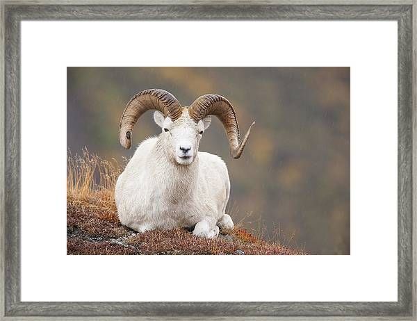 Dall Sheep Ram Framed Print