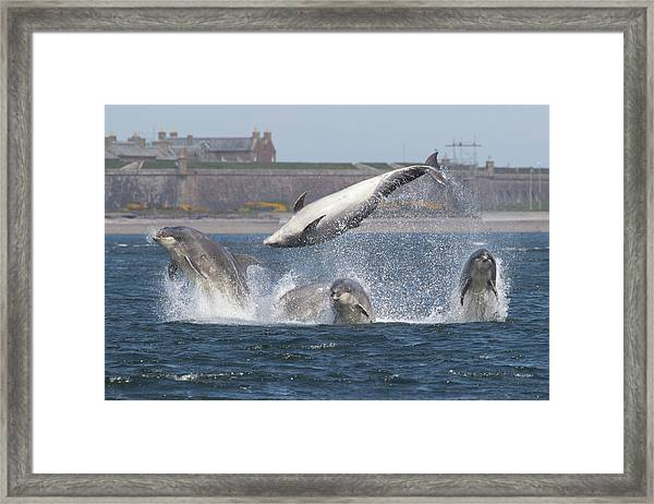 Dance Of The Dolphins Framed Print