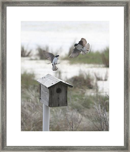 Dancing Tree Swallows Framed Print