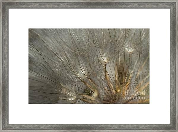 Dandelion 3 Framed Print