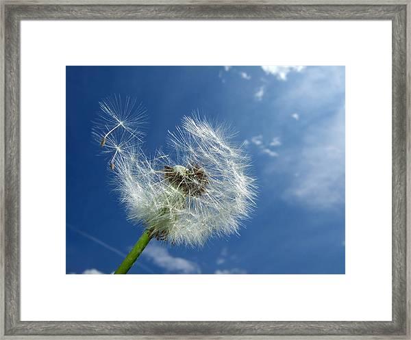 Dandelion And Blue Sky Framed Print