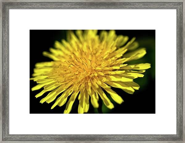 Dandelion Flower Framed Print