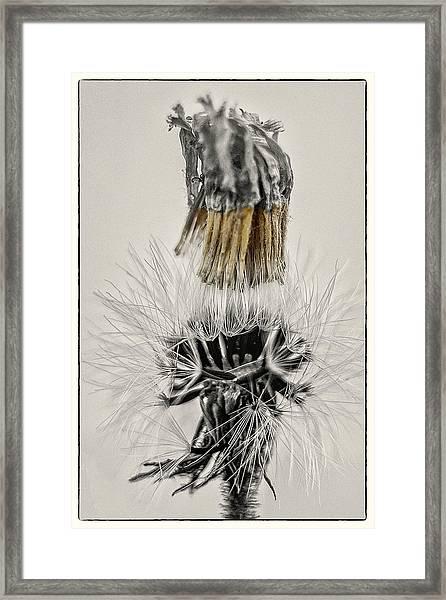 Dandelion Opening Up Framed Print