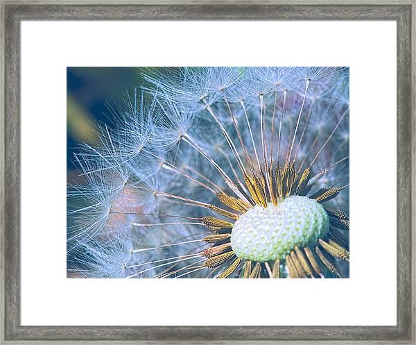Dandelion Plumes Framed Print