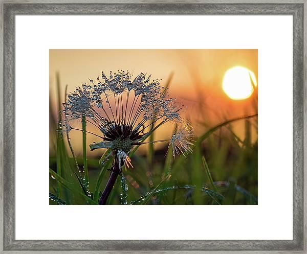 Dandelion Sunset 2 Framed Print