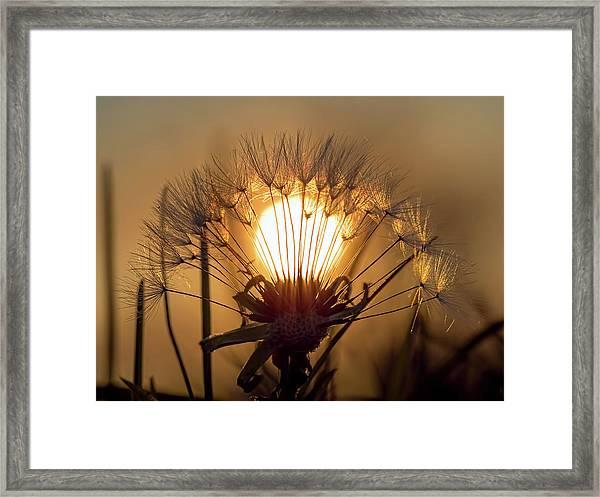 Dandelion Sunset Framed Print