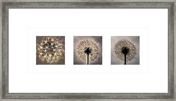 Dandelion Triptych Framed Print