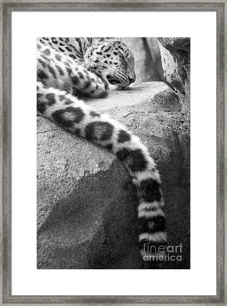 Dangling And Dozing In Black And White Framed Print