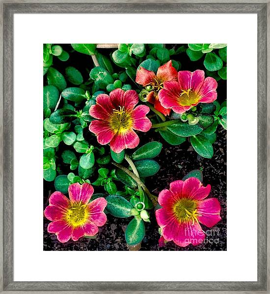 Dark Pink Purselane Flowers Framed Print
