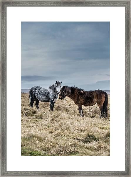 Dartmoor Ponies On Dartmoor Framed Print
