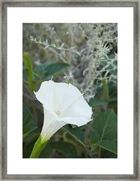 Datura Framed Print