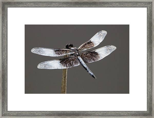 Dazzling Dragonfly Framed Print