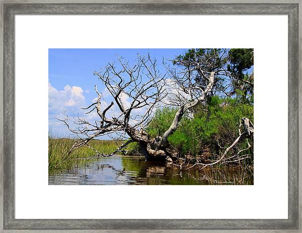 Dead Cedar Tree In Waccasassa Preserve Framed Print