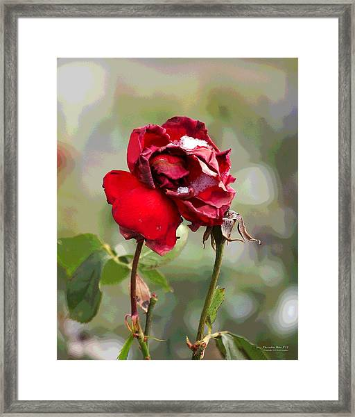 Framed Print featuring the digital art December Rose #12 by Brian Gryphon