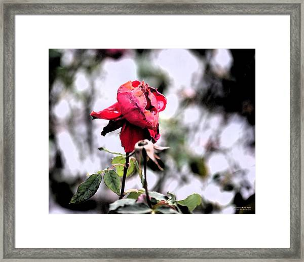 Framed Print featuring the digital art December Rose #16 by Brian Gryphon