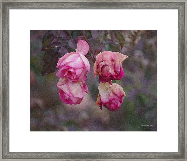 December Rose #263 Framed Print