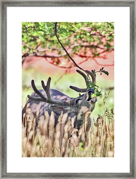 Deer In The Orchard Framed Print