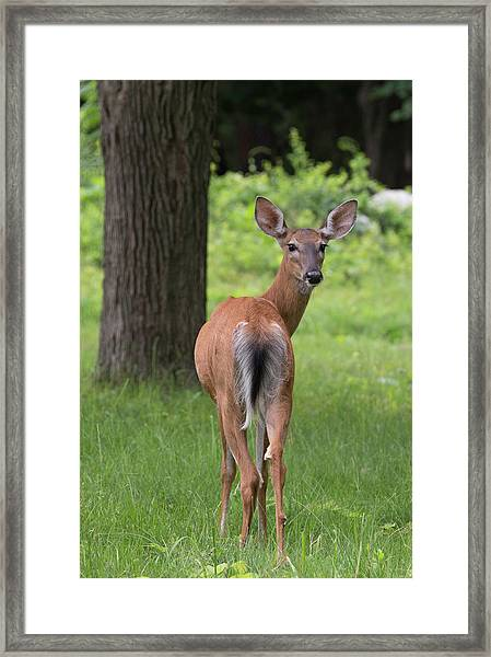 Deer Looking Back Framed Print