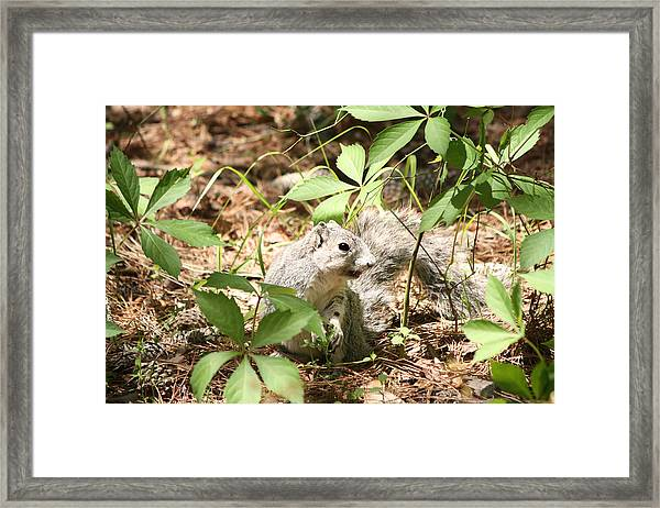 Delmarva Fox Squirrel - Local Rock Star Framed Print