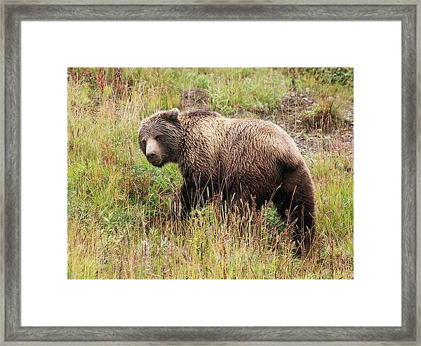 Denali Grizzly Framed Print