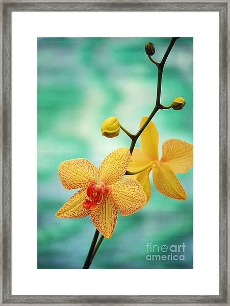 Dendrobium Framed Print