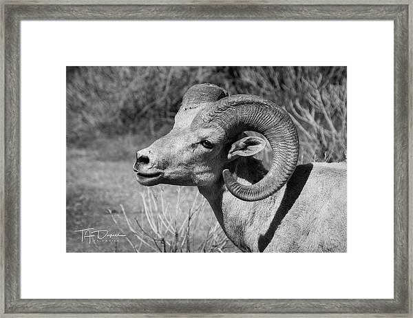 Desert Bighorn Framed Print