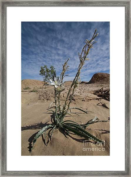 Desert Lilly Framed Print