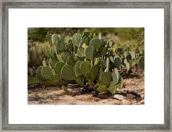 Desert Prickly-pear No6 Framed Print