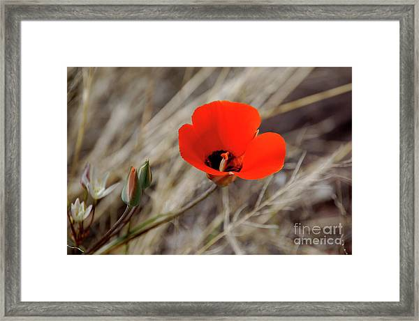 Desert Wildflower Framed Print