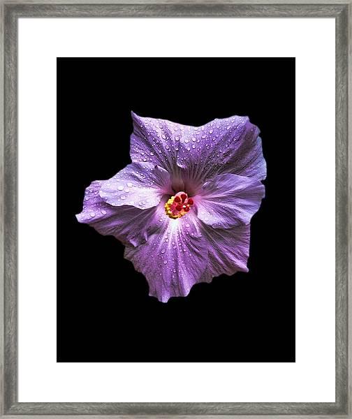 Dew Kissed Hibiscus Framed Print