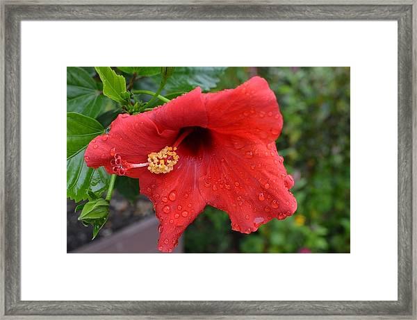Dew On Flower Framed Print