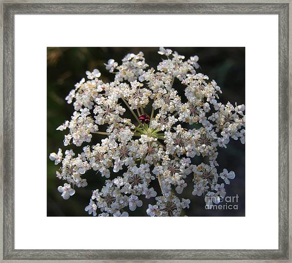 Dew On Queen Annes Lace Framed Print