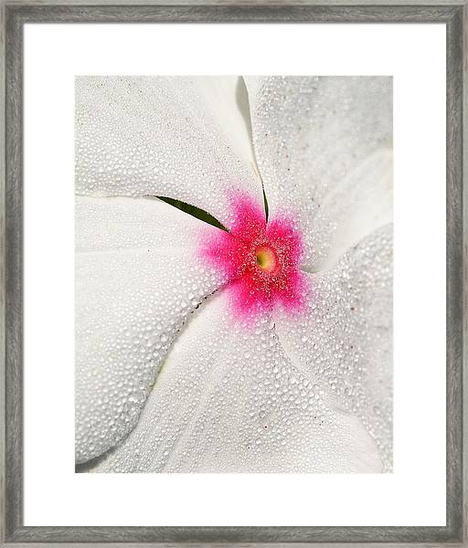 Dew-sprinkled Periwinkle Framed Print