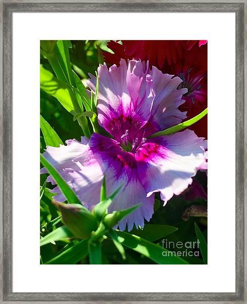 Dianthus Carnation Framed Print