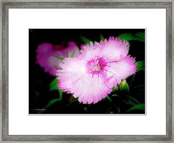 Dianthus Flower Framed Print