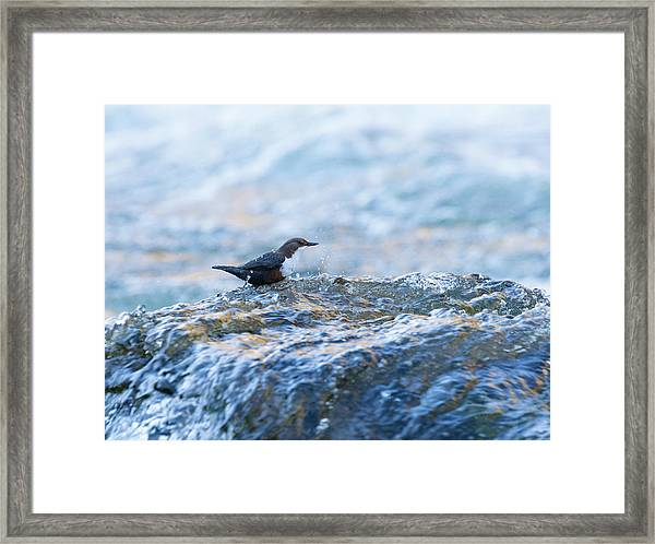 Dipper Searching For Food Framed Print