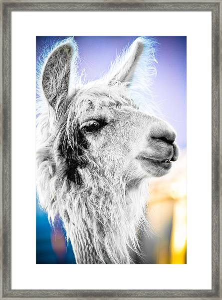 Dirtbag Llama Framed Print