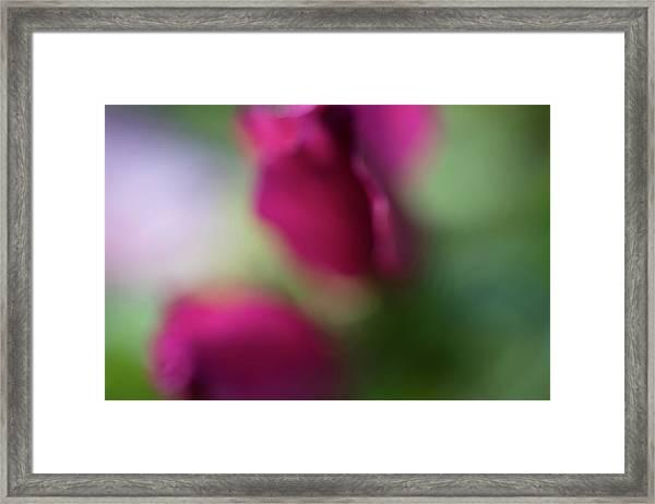 Distant Roses Framed Print