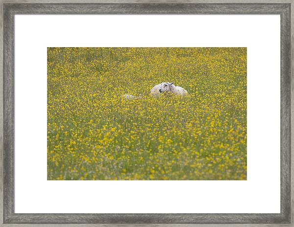 Do Ewe Like Buttercups? Framed Print