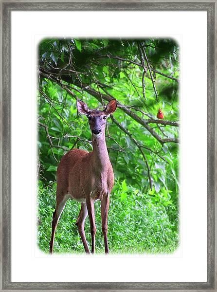 Doe And Cardinal Framed Print