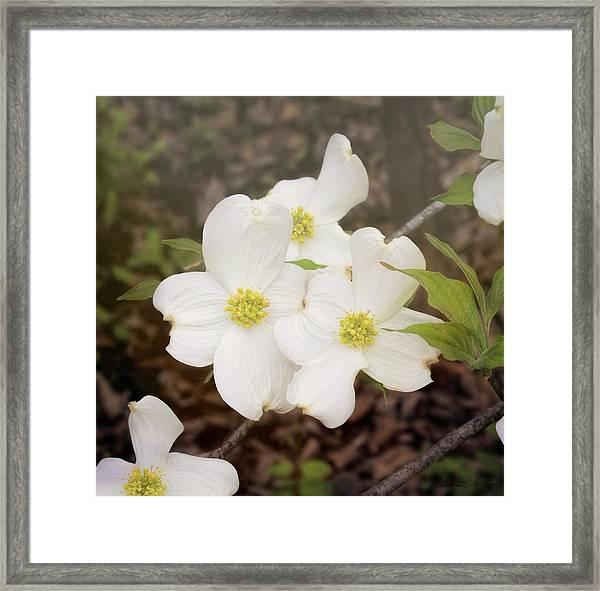 Dogwood Blossom Trio Framed Print