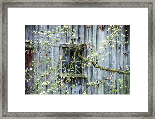 Dogwood Blossoms- Rejuvination  Framed Print