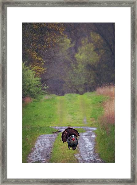 Doing The Turkey Strut Framed Print